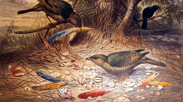 Picture of a pair of bowerbirds, published in 1861, with illustrations by Joseph Wolf.