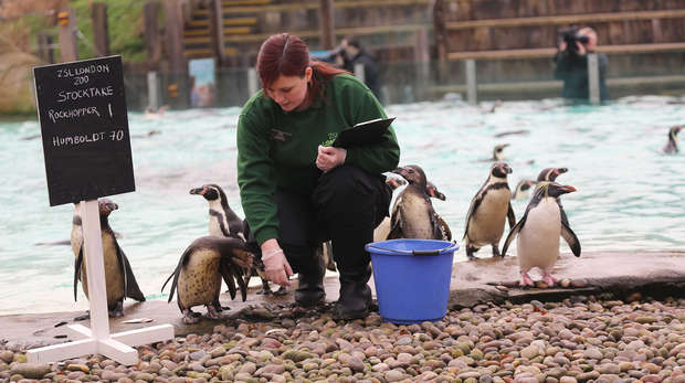 Penguins being counted for Stock take 2015