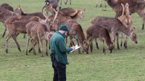 Deer are counted as part of ZSL Whipsnade Zoo's annual stocktake