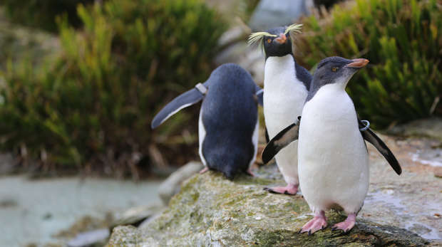 Young rockhopper penguins