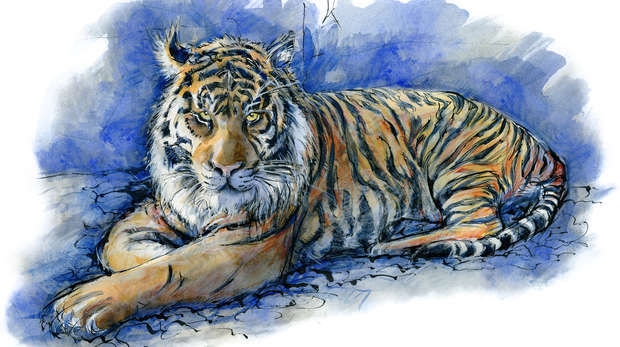 Saturday Sketch - Tiger by Tim Pond