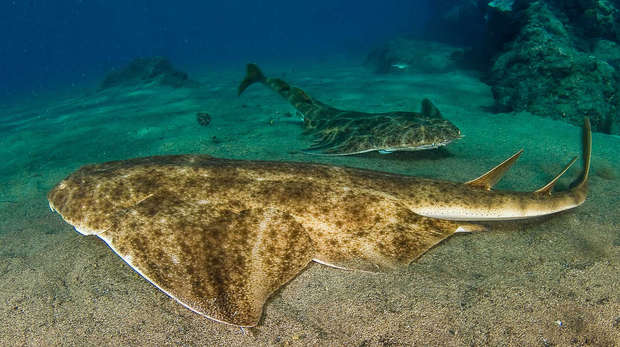 Angel shark duo
