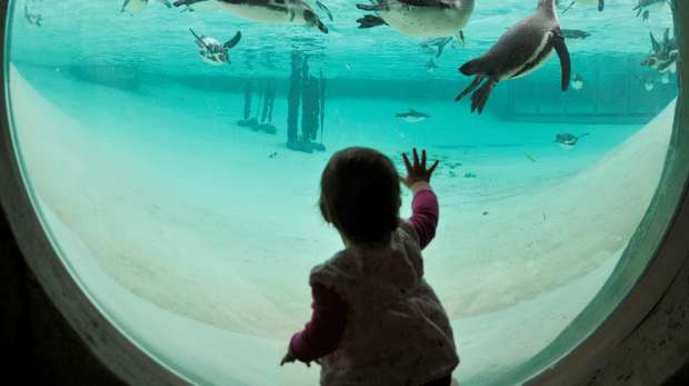 Child looking at penguins