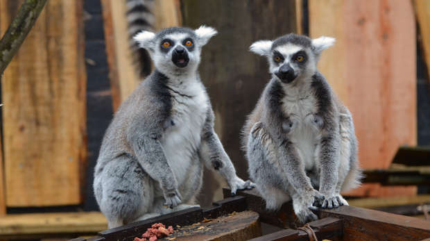 In with the lemurs 2015 - Lemurs eating treats