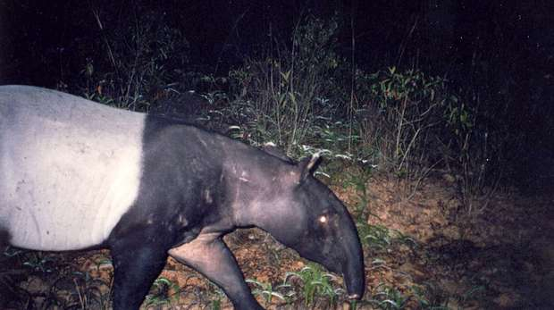This tapir was captured on camera trap during Chris' study of wildlife around oil palm plantations.