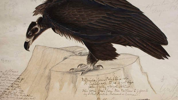 Drawing of Cinereous vulture, Aegypius monachus, in Volume 1 birds p. 4 of Brian Houghton Hodgson manuscripts of Nepal and India.