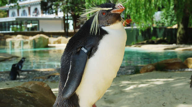 Ricky the rockhopper