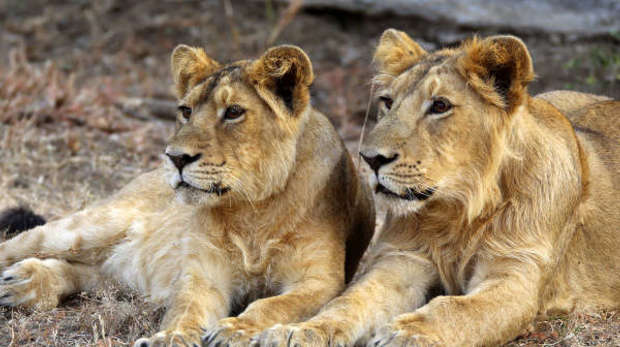 Asiatic lions in Sasan Gir