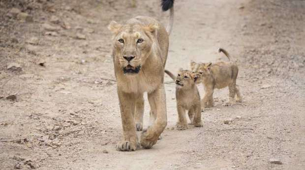 A mother Asiatic lion walking with her two cubs in the Gir forest, Gujarat, India.