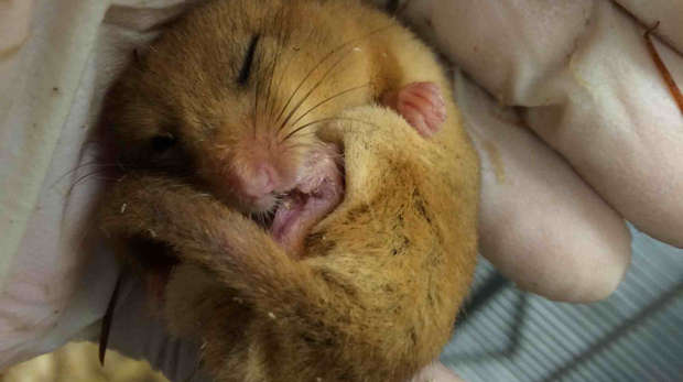 A sleepy common dormouse in quarantine at ZSL