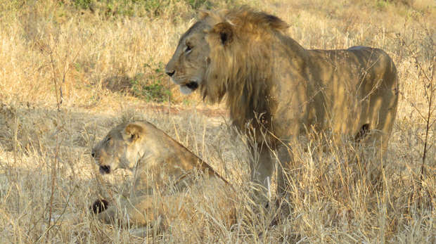 Two African lions in Tanzania
