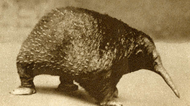 Historic black and white photograph of an echnida in the 1928 Guide to ZSL London Zoo
