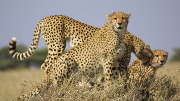Chabils the cheetah and her cubs