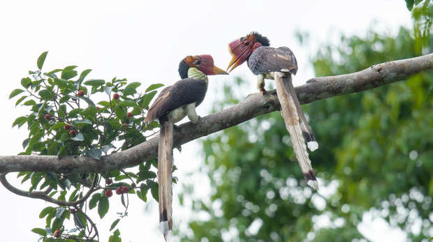 Helmeted Hornbill flying in nature Southern Thailand