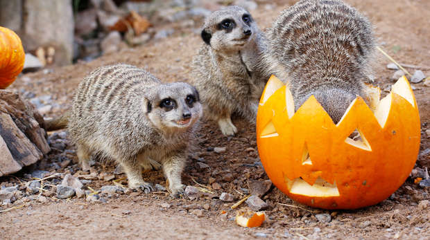 Meerkats enjoying pumpkin enrichment