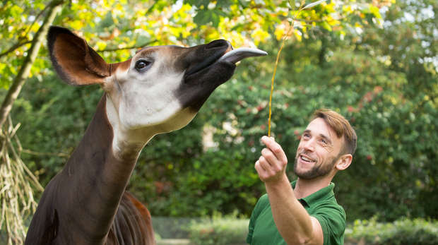 Gareth Chamberlain and Oni the okapi