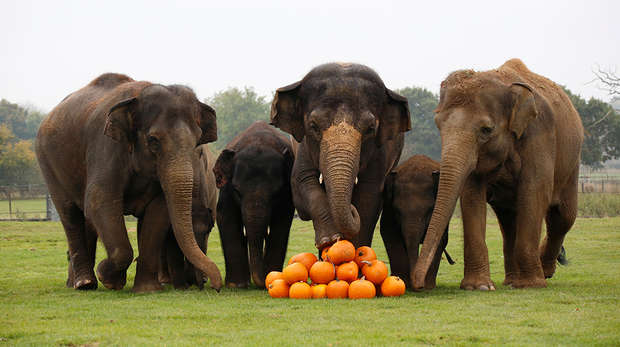 Asian elephants smash pumpkins at ZSL Whipsnade Zoo