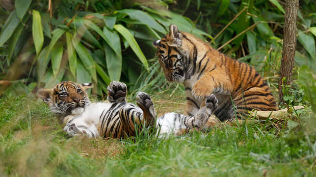 Sumatran tiger cubs Achilles and Karis