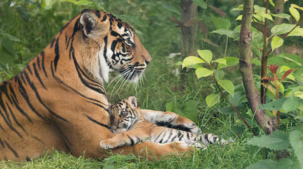 Sumatran tiger Melati and cub