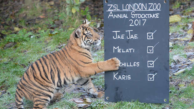 Sumatran tiger cub Achilles at annual stocktake