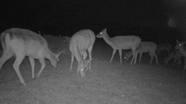 Fallow deer grazing at night
