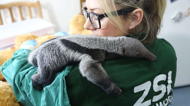 Baby anteater Beanie with keeper Amy Heath