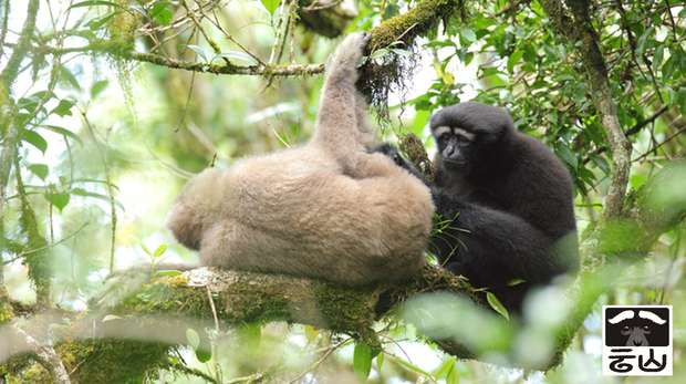 Adult pair of Skywalker hoolock gibbon