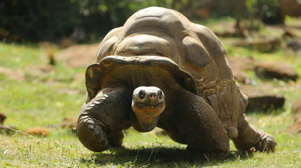 Dirk the Galapagos tortoise at ZSL London Zoo