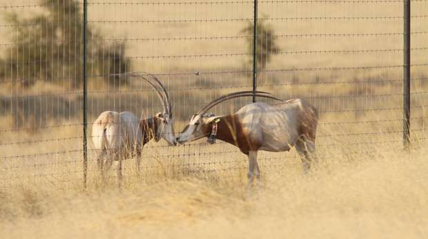 Two oryx, one who has left enclosure, one who hasn't yet