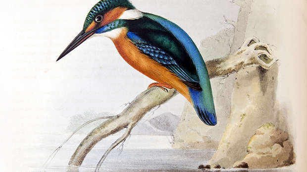 Lithograph of a kingfisher perched on a branch