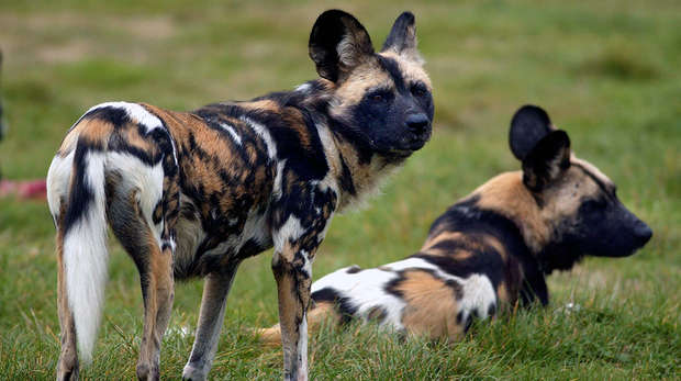 African hunting dogs