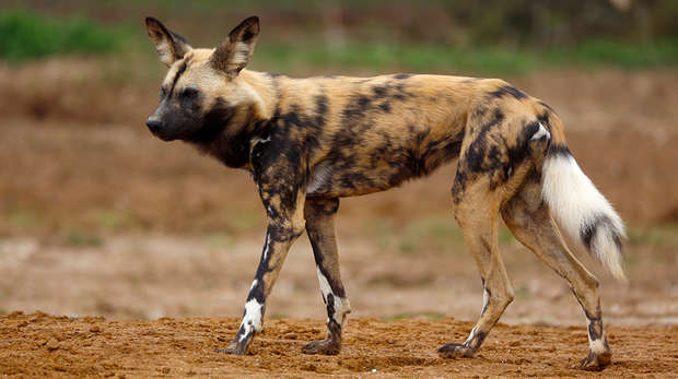 Brandy the African hunting dog