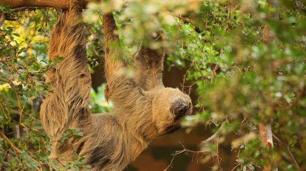 Sloth in Rainforest Life at ZSL London Zoo
