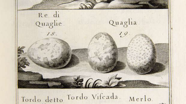 Plate 5 of Zinanni's book on bird eggs showing illustrations of 8 bird egss