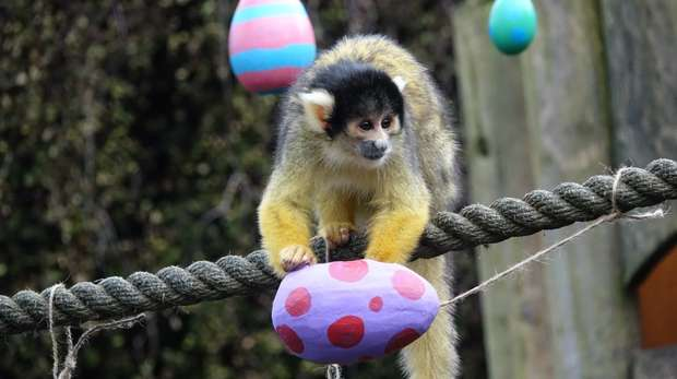 Squirrel monkey enjoys Easter treat at ZSL London Zoo