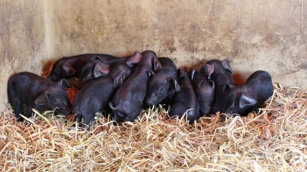 Piglets at ZSL Whipsnade Zoo