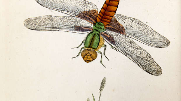 Illustration of an adult dragonfly in flight