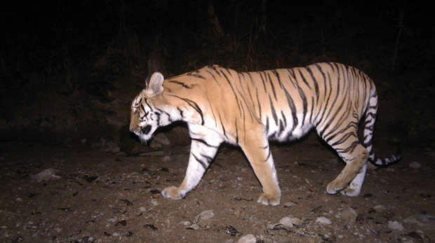 Camera trap footage of tiger at night