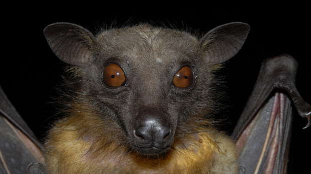 Eidolon Helvum fruit bat