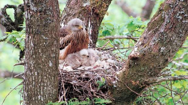 Red kite with chicks