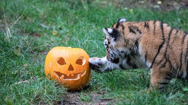 Amur tiger cub with pumpkin