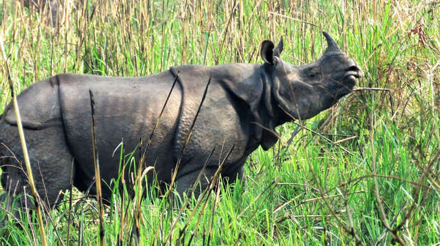 A one-horned rhino in a field in Chitwan