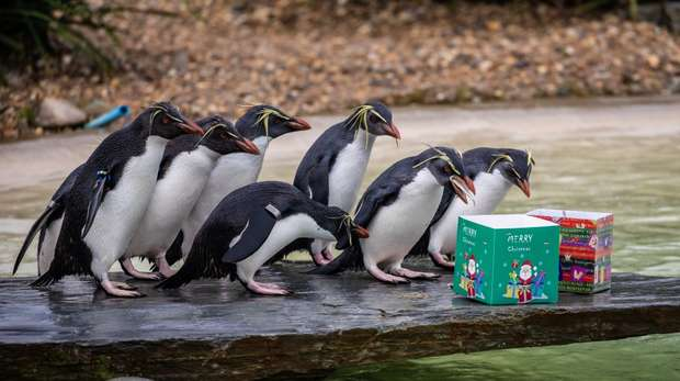 Rockhoppers enjoy an early Christmas treat at ZSL Whipsnade Zoo