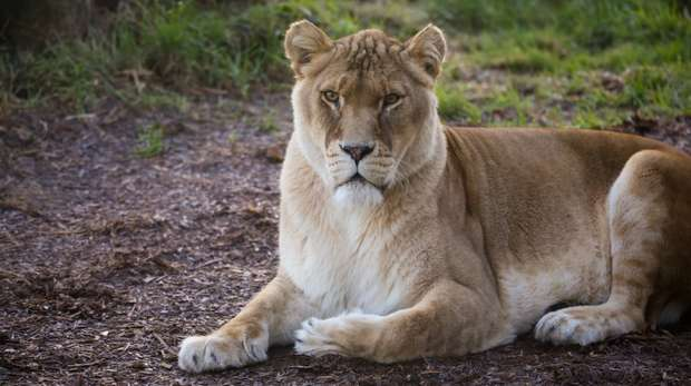 African lion at ZSL Whipsnade Zoo