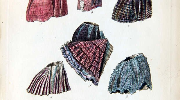 Colour illustration of various barnacles