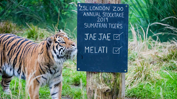 Sumatran tiger Jae Jae at ZSL London Zoo's annual stocktake