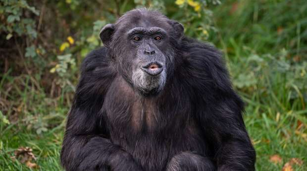 Koko the chimpanzee at ZSL Whipsnade Zoo