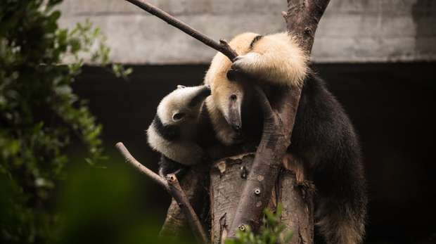 Our youngest tamandua Paco with mum Ria