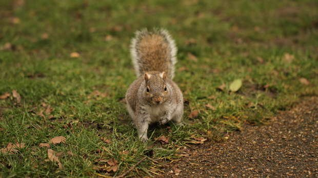 A grey squirrel looks for food in a London park