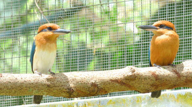 Photo of two Sihek birds sat on a branch